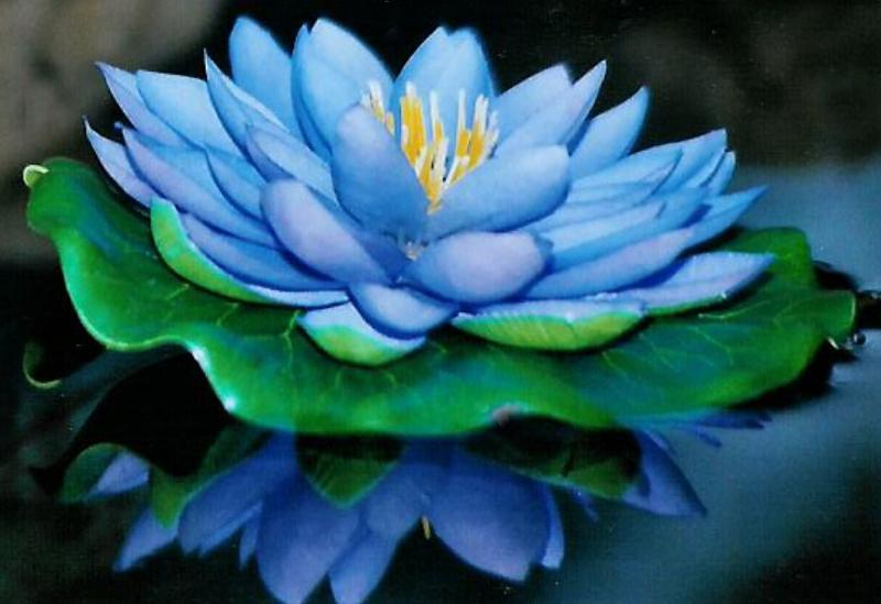 keenly darling images of blue lotus, Natural flower